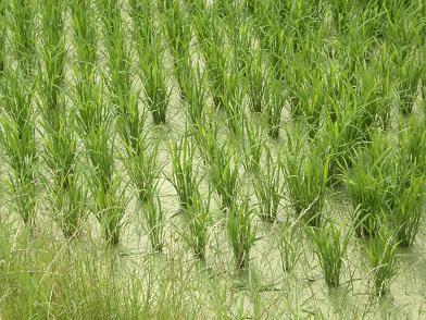 家の前の稲.JPG