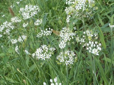 田んぼの脇の花